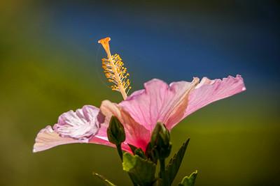 Hawaiian Hibiscus ~ Hawaiiblomst