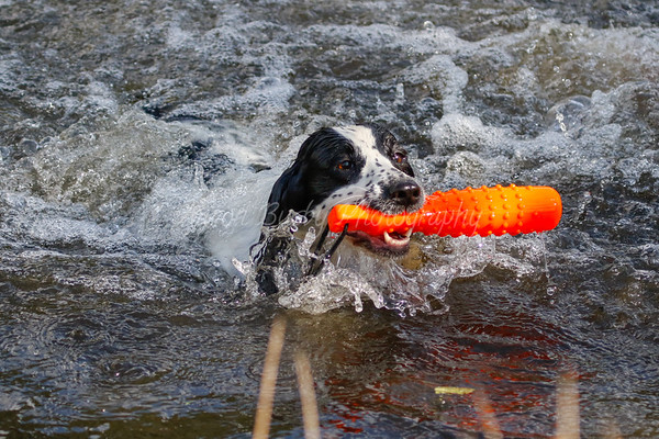 Water Training With The Spaniels