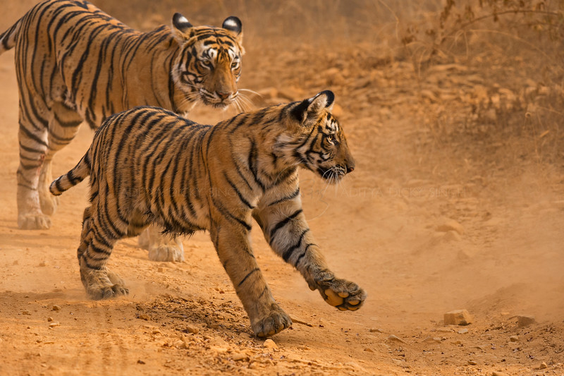 Tigress and cubs in a forest path