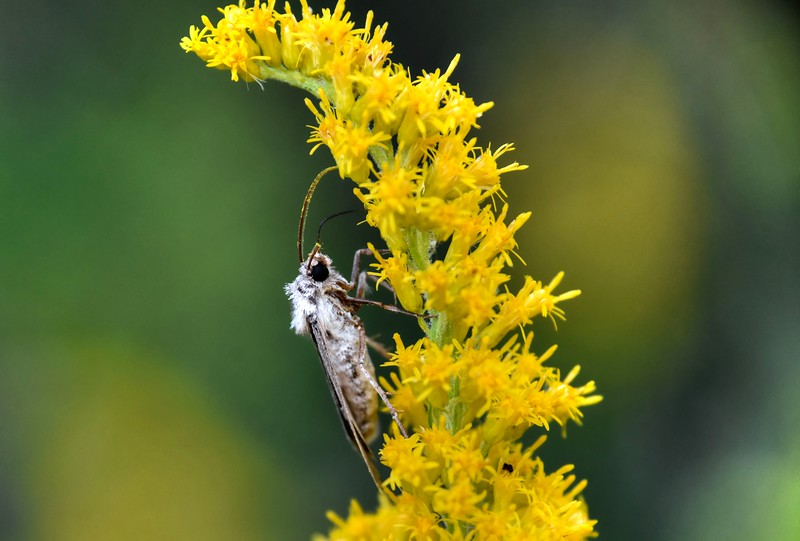 MothonGoldenrodBeechnut-Photos-rjduff.jpg