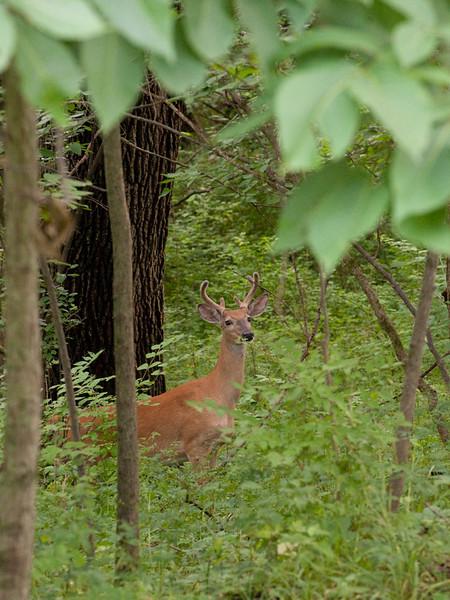 clip-015-deer-wdsm-06jul10-cvr-5850.jpg