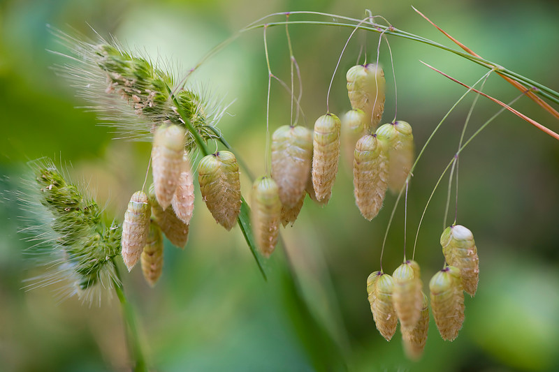 Foxtail Pods Stacked PS.jpg