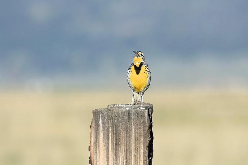 Western Meadowlark morning song in the Sierra Valley.