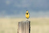 Western Meadowlark morning song in the Sierra Valley.