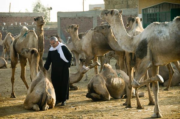 cairo, camel market