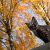 Cute black kitten on a railing with colorful fall foliage in background