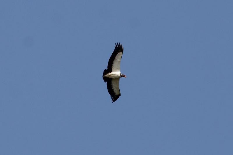King Vulture (1) at Madre de Dios River, Manu, Peru (2008-07-07).psd
