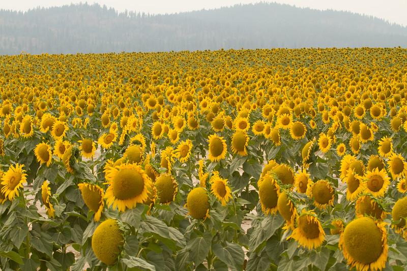 sun flowers-3917.jpg
