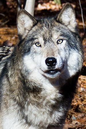 Lakota Wolf Preserve 2010