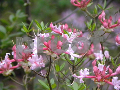 native-azaleas-another-take-on-beloved-plant