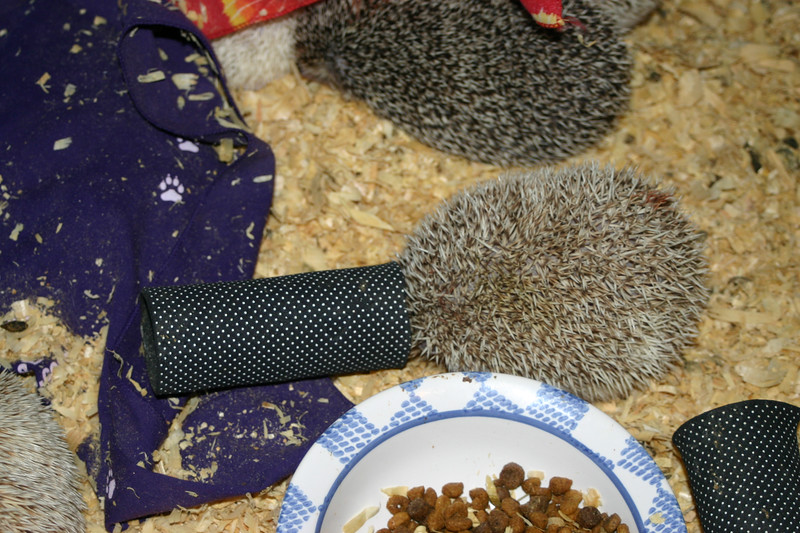 Hedgehogs Playing in the Pool (10/27/2004)  Hedgehogs Playing in the Pool (10/27/2004)  Filename reference: 20041027-002055-HAH-Hedgehogs_Playing_in_the_Pool-SM