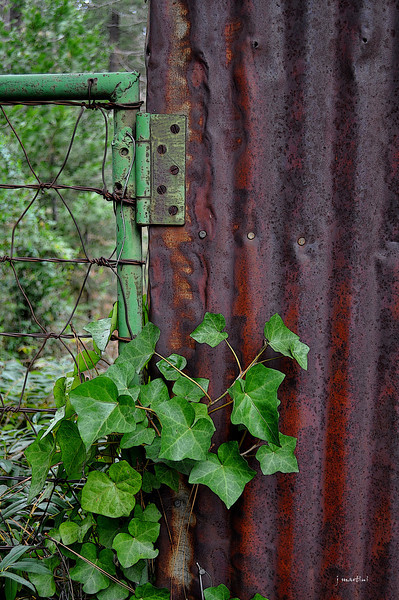 rust and ivy 3-19-2013.jpg