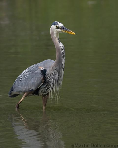 Great Blue Heron reifel bird sanctuary