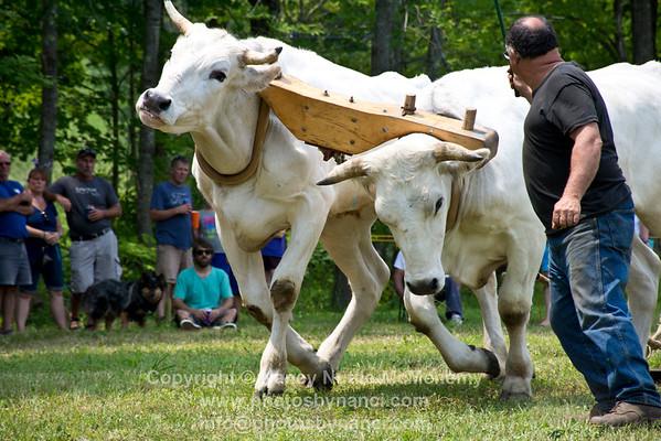 Ox Pull