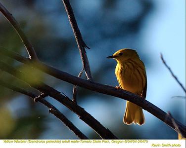 YellowWarbler26470.jpg