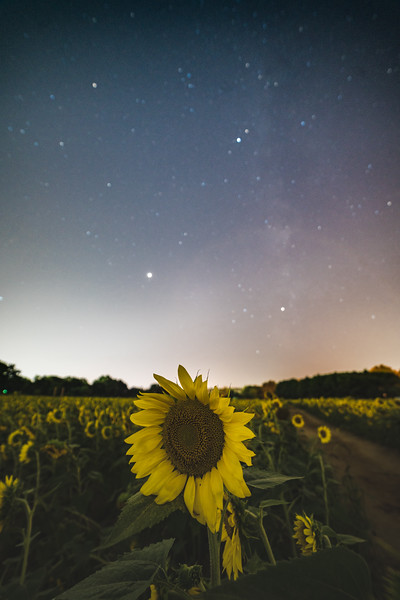 Sunflower Starscape - Raleigh, North Carolina