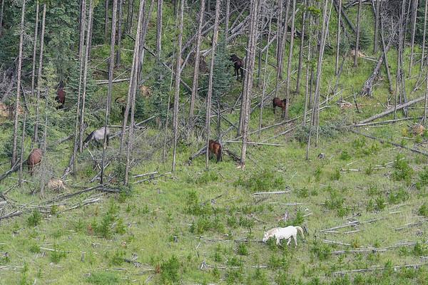 8-15-16 *^Alberta Wild Horses - Fly By