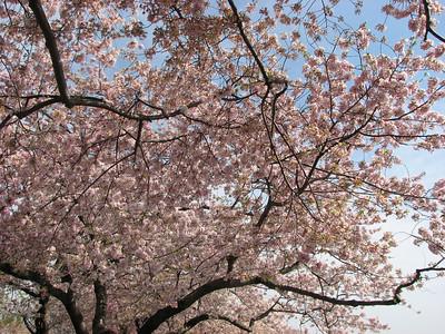 2010 - Cherry Blossom