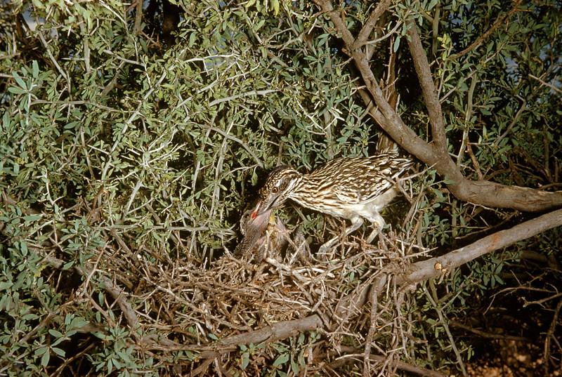 Roadrunner (Geococcyx californianus), Big Bend National Park, Texas, 1958