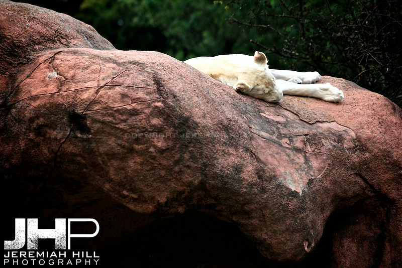 """Sleeping Lion"", Toronto Zoo, 2013 Print JP13-99-322"