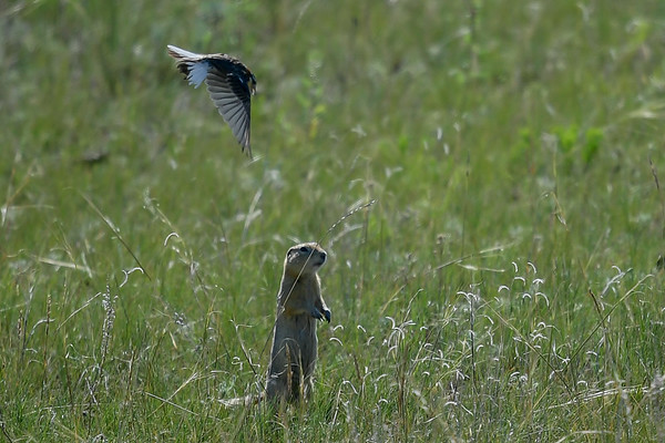6-30-17 Chestnut-collared Longspur Fight With Gopher