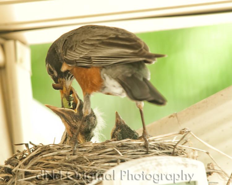 057 Baby Robins Spring 2013.jpg