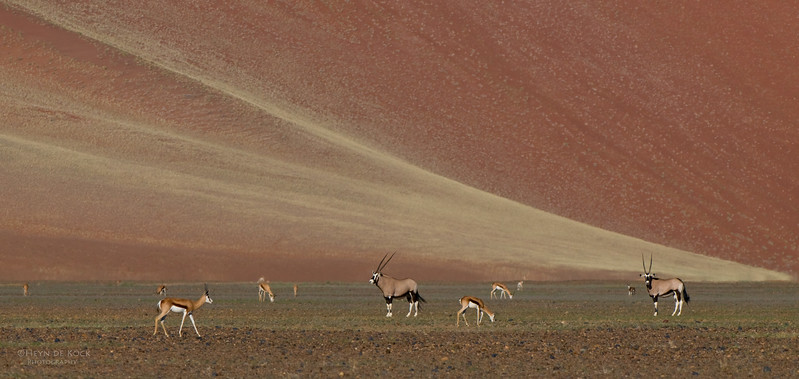 Gemsbok & Springbok, Sossusvlei, Namibia, July 2011.jpg