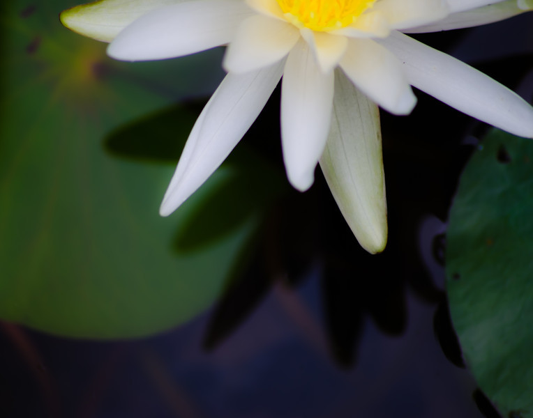 Water Lily Dream.jpg