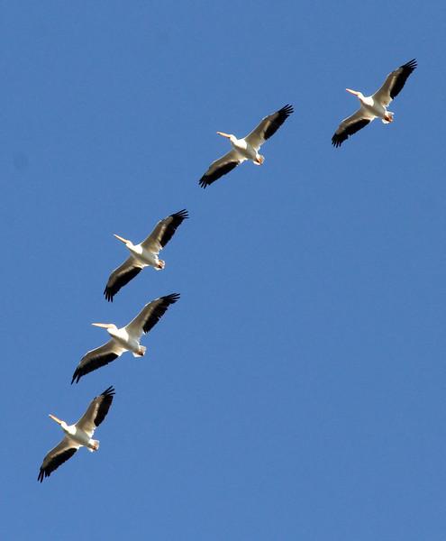 American White Pelicans @ Columbia Bottom CA