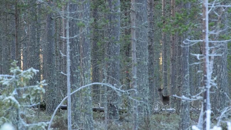 Hjortar och Mufflon på Järnäshalvön - Red deer and Fallow deer