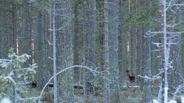 Dovhjortar - Fallow deer