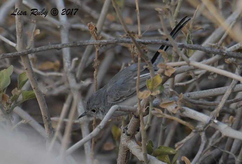 Gnatcatcher - probably Blue-Gray - 10/21/2017 - Canal Trail, Scottsdale, AZ