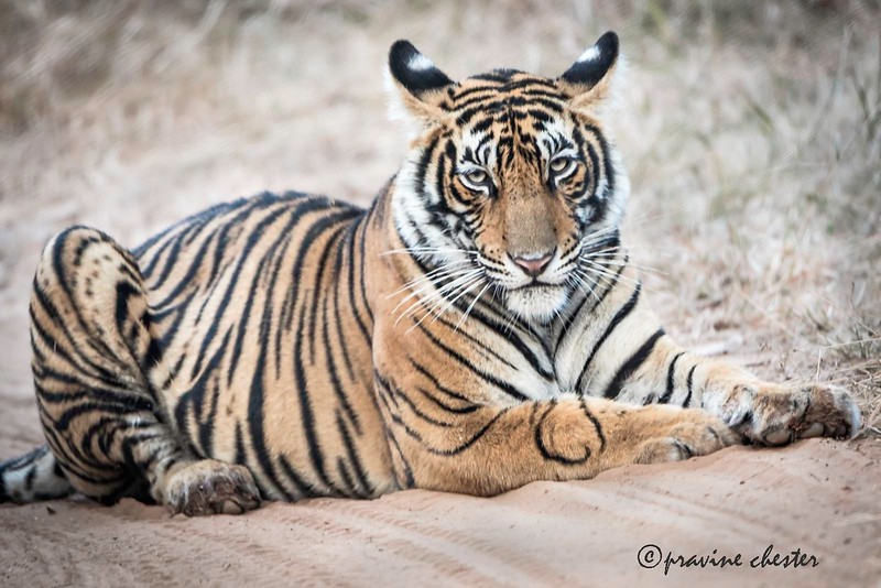 Tiger at rest