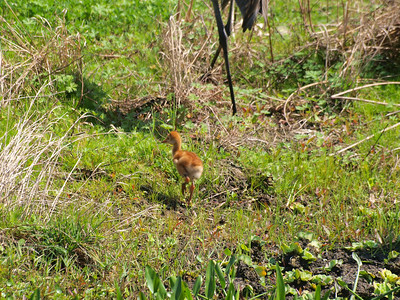 2011 Sand Hill cranes -new chicks 2011