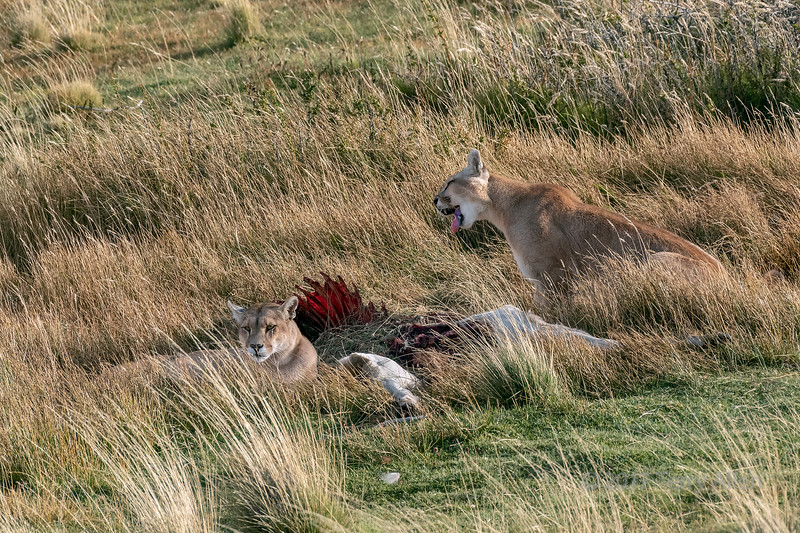 Mother puma lying next to guanaco carcass with yearling cub nearby, Lago Sarmiento, Patagonia.jpg