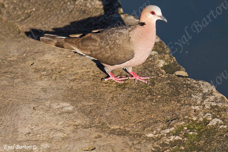 African Mourning Dove, Brillentaube, Streptopelia decipiens