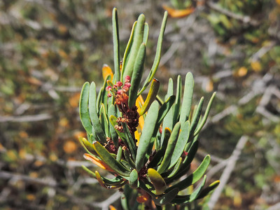 Parry's Tetracoccus (Tetracoccus dioicus)