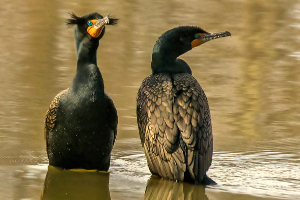 Loons and Cormorants