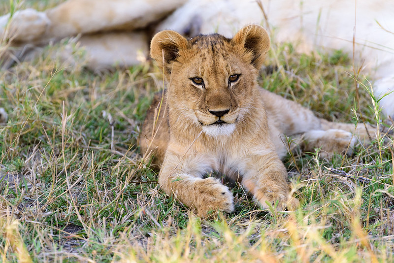 Lion cub looking very satisfied after finishing nursing.