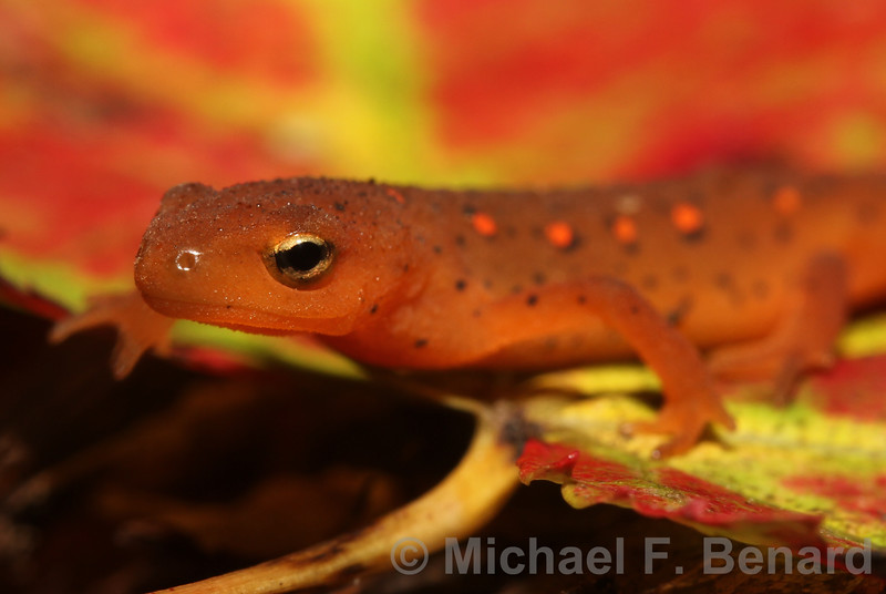 Little Red Eft