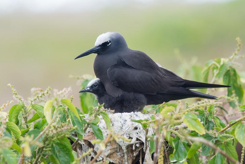 Black Noddy, Lady Elliot Island, QLD, Dec 2015-2.jpg