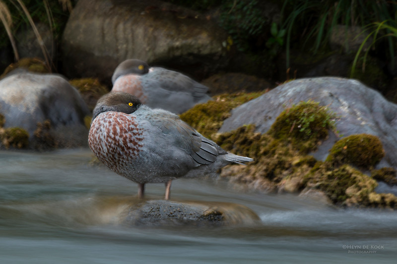 Blue Duck, Tongariro NP, NI, NZ, March 2015.jpg
