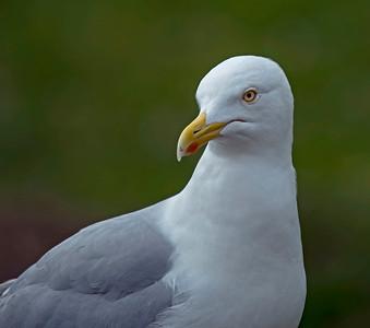 Herring Gull ( Larus argentatus)