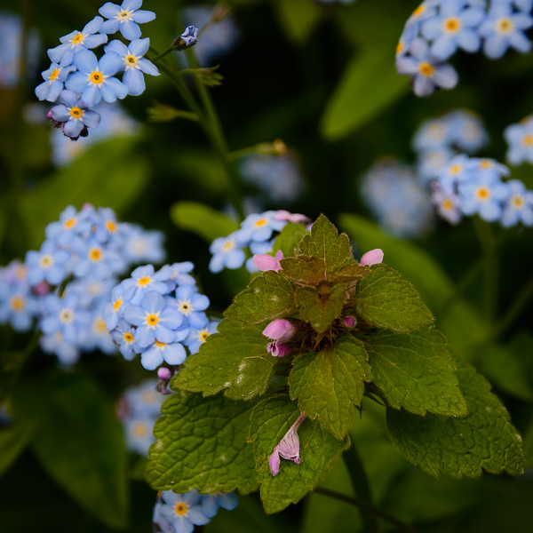 Creeping Charlie in the Forget-me-not