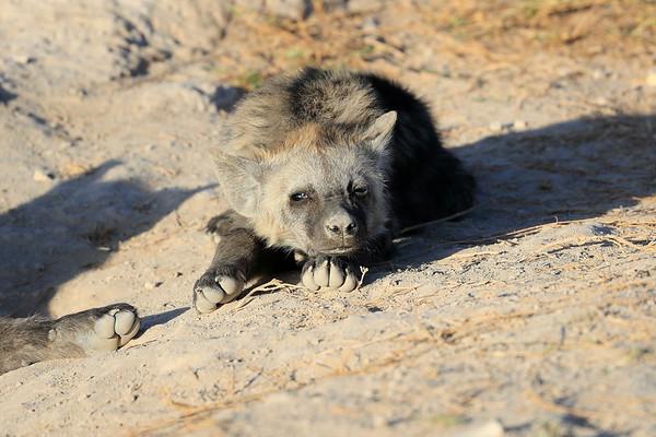 Spotted Hyena Kenya 2017