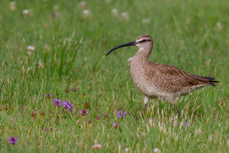 Whimbrel summering on Park Point Duluth MN -0277.jpg