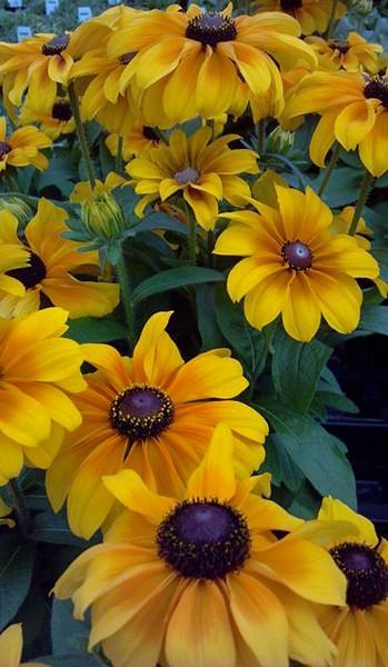 Yellow Susans.jpg