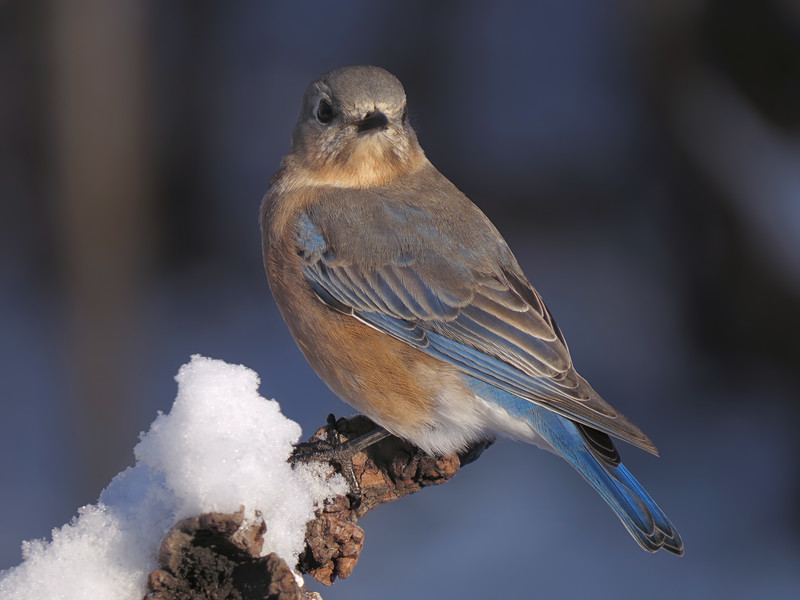 sx50_bluebird_faith_boas_040.jpg