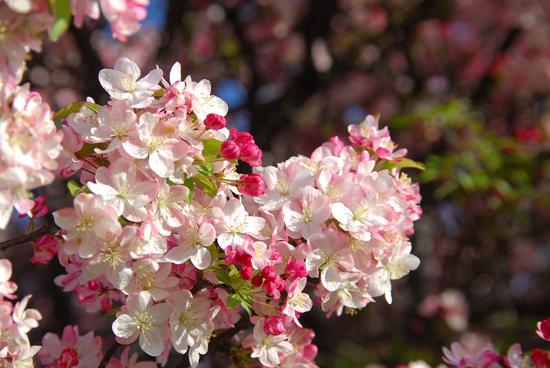 Crabapple trees are in bloom in Maplewood Park in Rochester, NY.