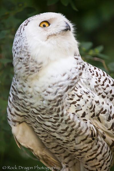 A Snowy Owl at the Calgary Zoo.